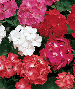 Geranium, Border Mix, , large