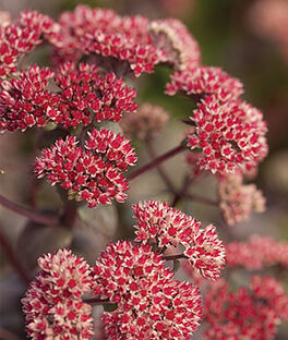 Sedum, Oriental Dancer , , large