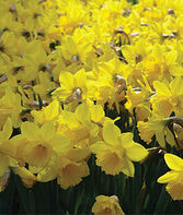 Daffodils, Yellow Trumpet, , large