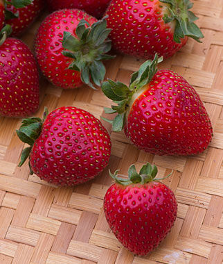 Strawberry evie 2 ppaf strawberry plants at - Plant strawberries spring ...