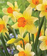 Daffodil, Fortissimo, , large