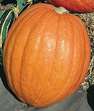Pumpkin, First Prize Hybrid, , large