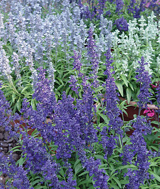 Salvia, Cathedral™ Mixed Colors 3 Plants Annuals, Annual Flowers, Annual Flower Plants, Flower Plants, Flowering Annuals, Bedding Plants