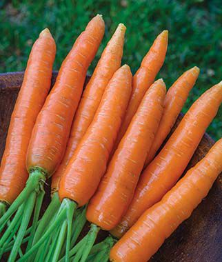 Scarlet Nantes Organic Carrot Seeds and Plants, Vegetable ...