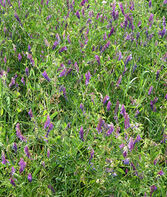 Cover Crop, Hairy Vetch, , large
