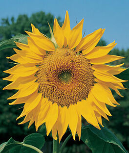 Sunflower, Mammoth Organic, , large