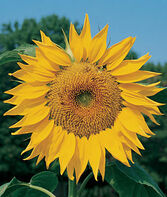 Sunflower, Mammoth Russian, , large