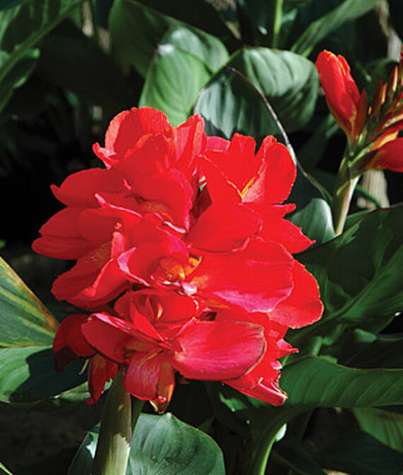 Canna, South Pacific Scarlet