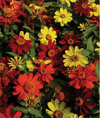 Zinnia, Zahara Bonfire Mix, , large