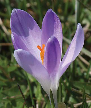 Crocus vernus, Vanguard, , large