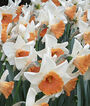 Daffodil, Chromacolor, , large