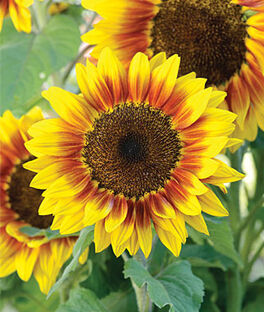 Sunflower, Solar Flash Hybrid, , large