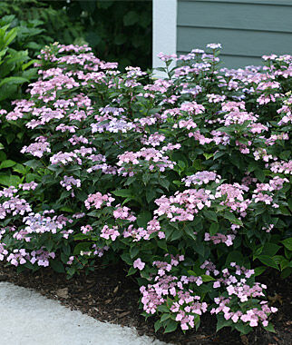 Hydrangea serrata, Tiny Tuff Stuff PPAF , , large