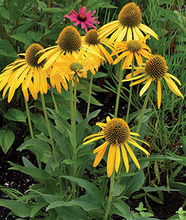Echinacea, Now Cheesier, , large