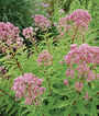 Eupatorium dubium, Little Joe, , large