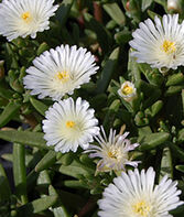 Delosperma, White Wonder , , large