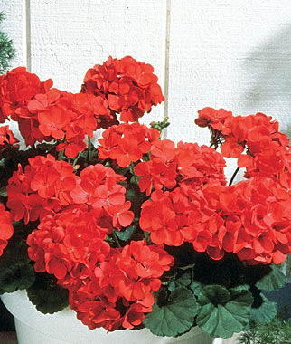big red hybrid geranium seeds and plants, annual flower garden at, Beautiful flower