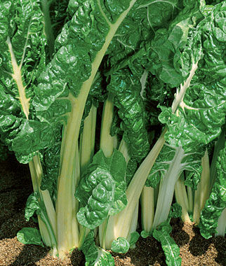 Swiss Chard, Burpee's Fordhook Giant Organic, , large