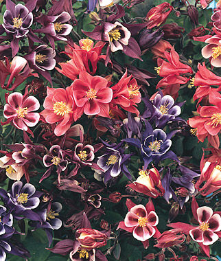 Columbine, Winky Mix, , large