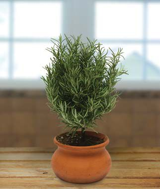 "Rosemary in 4"" Clay Washpot, , large"