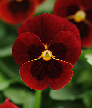 Viola, Sorbet Red Blotch, , large