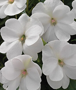 Impatiens, SunPatiens White, , large