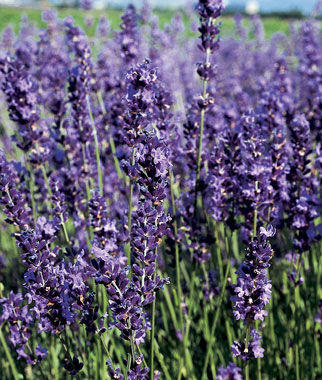Provence Blue Lavender Seeds and Plants, Perennial Flowers ...
