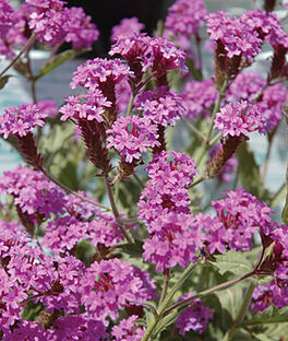 Verbena rigida, Santos Purple, , large