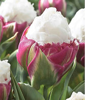 Tulip, Ice Cream, , large