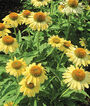Echinacea, Sandy Yellow, , large