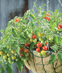 Tomato, Sweetheart Of The Patio, , large