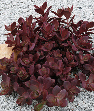 Sedum, Sunsparkler Cherry Tart PPAF, , large