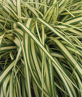 Carex, Evergold, , large
