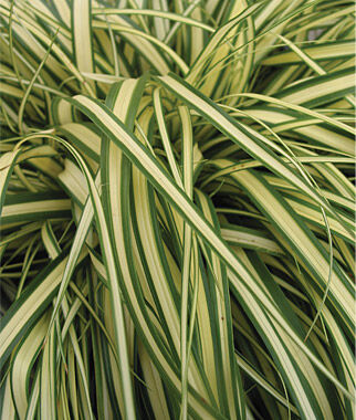 small perennial ornamental grasses carex evergold ornamental grass at