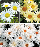 Shasta Daisy Collection, , large
