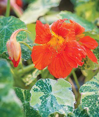 Nasturtium, Orange Troika, , large