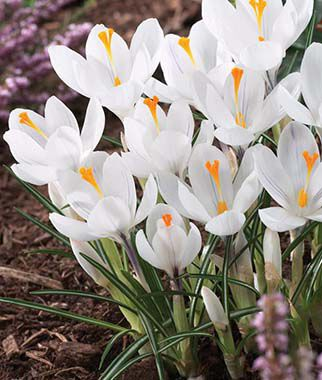 Crocus vernus, Jeanne d'Arc, , large