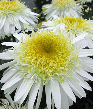Shasta Daisy, Real Glory, , large