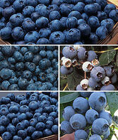 Blueberry Collection , , large