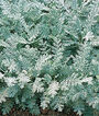 Dusty Miller, Silver Lace, , large