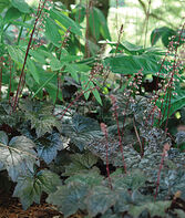 Heuchera, Blackout, , large