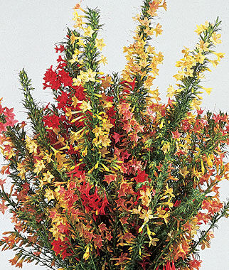 Hummingbird Mix Ipomopsis Seeds and Plants Annual Flower Garden