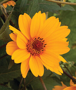 Heliopsis helianthoides, Sweet Sunshine , , large