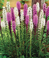 Liatris, Blazing Stars Mixed, , large