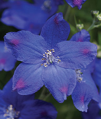 Delphinium, Diamonds Blue, , large