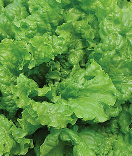 Lettuce, Simpson Elite, , large
