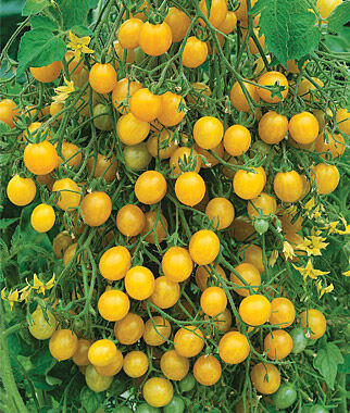 Tomato, Mirabelle Blanche Organic, , large
