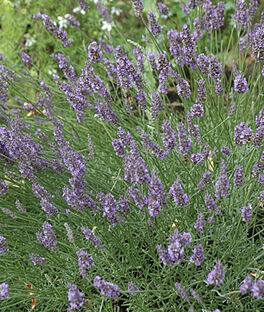 Lavender, Munstead, , large