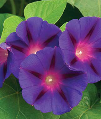 Morning Glory, Grandpa Ott,,  large