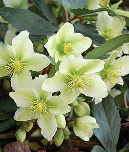 Helleborus, Honeyhill Joy, , large